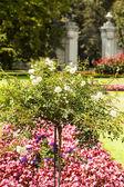 White rose flower in the park. — Stock Photo
