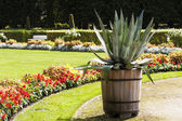 Garden flower in the park, grow agave and pink flowers. — Stock Photo