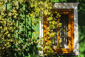 White window in the wall of a green house covered with leaves of grapes. — Stock Photo