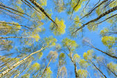 The tops of trees photographed from below, the symbol of the com — Stock Photo