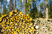 Felling of the forest. — Stock Photo