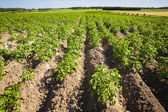 Young plants of potatoes. — Stock Photo