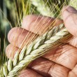 Ears of wheat in hand. — Stock Photo #48575731
