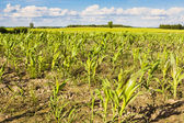 Young green corn. — Stock Photo