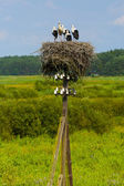 Young storks, nest of storks. — Стоковое фото