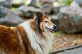 Pies owczarek szkocki — Zdjęcie stockowe
