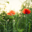 Stock Photo: Poppies with backlight