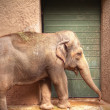 Elephant at zoo — Stock Photo #36115711