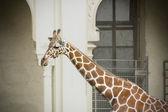 Giraffe at the zoo — Stock Photo