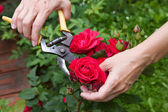 Red rose cutting — Stock Photo