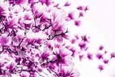 Magnolia kwiat kwitnąć — Zdjęcie stockowe