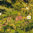 Wild strawberry white flowers and berries — Vídeo de stock