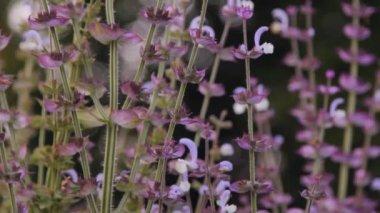 Sage herb flowers — ストックビデオ