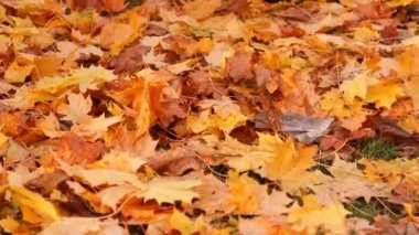Autumn, shipping yellow maple leaves to rake — Stock Video