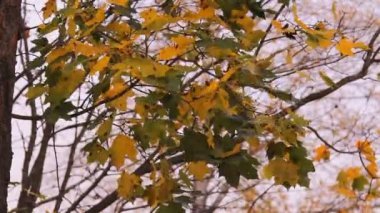 Autumn, yellow-green leaves of the maple tree — Stock Video