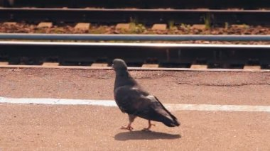Dove walks along the platform — Vídeo de Stock