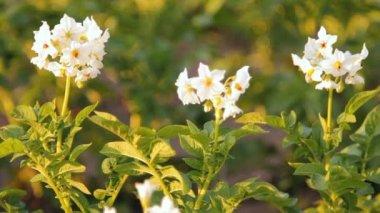 Papas de floración en la granja — Vídeo de Stock