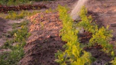 Las zanahorias en la granja de una regadera de riego — Vídeo de Stock