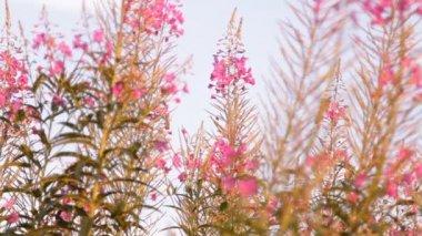 Plant Ivan tea blossoms — Stock Video