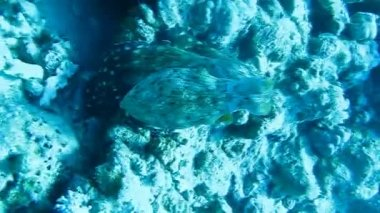 Octopus on coral reef in the Sea in clear blue water — Stock Video
