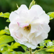 Stock Photo: White Eglantine