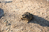Big Gray Toad — Stock Photo
