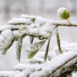 Olive Tree in the Snow — Stock Photo