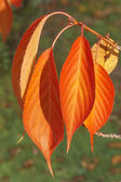 Leaves In Red And Orange Autumn Colors — Stock Photo
