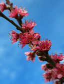 Blossoms of a Peach Tree in Spring. — Stock Photo