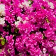 Stock Photo: Beautifull pink flowers