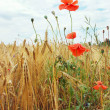 Poppies on the wheat field — Stock Photo