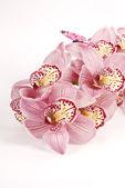 Cymbidium orquídeas — Fotografia Stock
