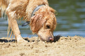 Golden retriver on the beach — Stok fotoğraf