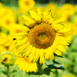 Sunflower on the field is pollinated by bees — Stock Photo