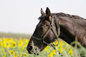 Brown horse on the field with sunflowers — Photo