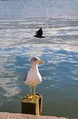Beautiful seagull in flight at sea Helsinki — Stok fotoğraf