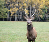 Beautiful deer grazing on the green grass with big horns — Stock Photo