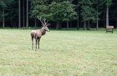Красивых оленей, выпас скота на зеленой траве с большим рогами — Стоковое фото