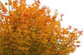 Maple head in autumn. — Stock Photo
