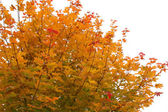Maple head in autumn. — 图库照片