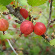 Red gooseberries on the branch — Stock Photo