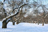 Orchard in winter. — Stock Photo