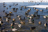 Ducks in a ice-hole. — Stock Photo