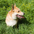 A Welsh Corgi Pembroke dog in the grass — Stock Photo