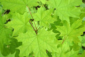 Green maple background — Foto de Stock