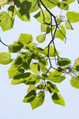 Translucent leaves on the branches in the sunlight — Stock Photo