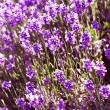 Blooming lavender — Stock Photo #27817261