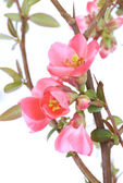 Chaenomeles japonica — Stock Photo