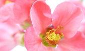 Chaenomeles japonica — Stock Photo