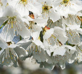 Flower cherry — Stock Photo